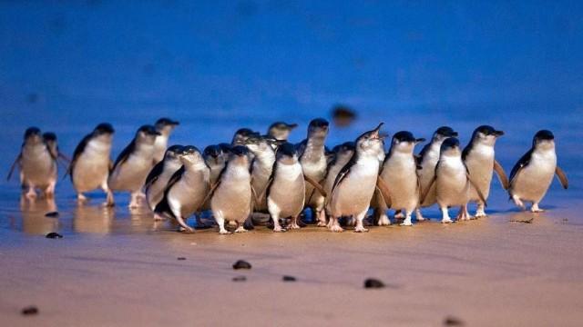 pinguiniblucover